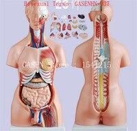 내장 해부학 남성 여성 양성 트렁크 해부 모형 가슴 복부 기관 구조 의학 양성 몸통 GASENHN-037