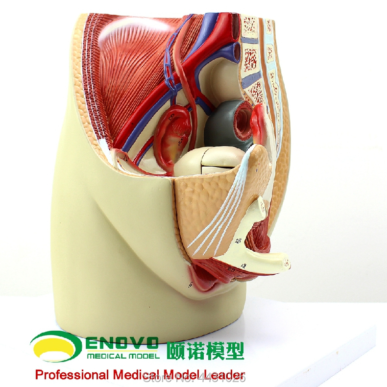 ENOVO Female pelvic anatomy model reproductive urogenital gynecological model pelvic model female pelvic fetal model nine months of pregnancy fetus uterine embryo development model fetal development model gasen sz017
