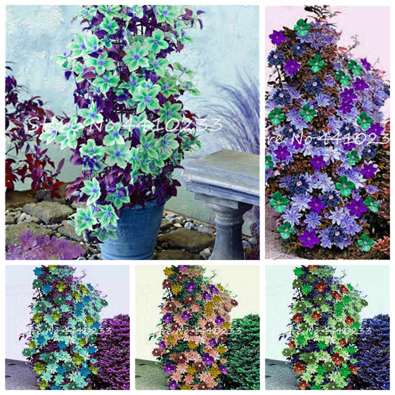 50 Pcs Mixed Clematis Bonsai Clematis Hybridas Hanging Flowers Potted Balcony Blooming Climbing plants Sementes De Flores