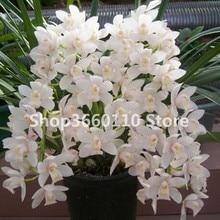 Flying Duck Orchid Flower Rare Plant Black Bonsai Garden Plants Potted Flowers Cymbidium Faberi bonsai-30 Pcs