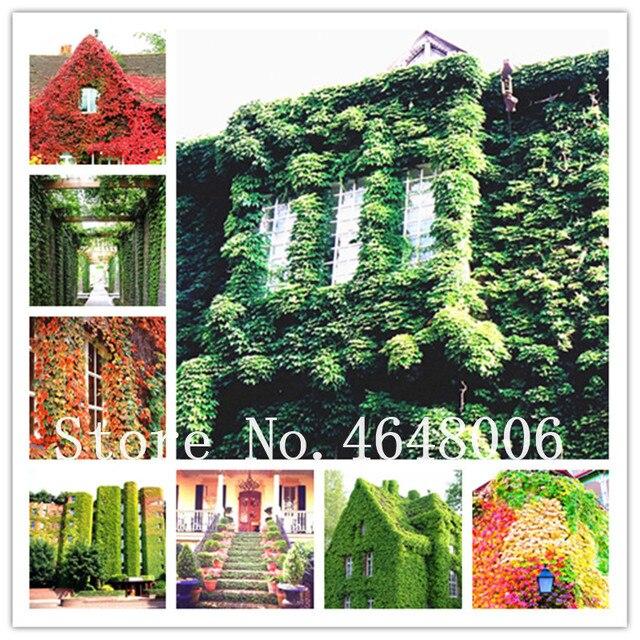 100 pcs Verdadeiro Verde Hera Trepadeiras Bonsai Ao Ar Livre Escalada Escalar uma Parede Ace Hera Parthenocissus Tricuspidata sementes de Plantas de Jardim Bonsai