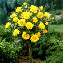 100pcs/bag rose tree,rose seeds bonsai flower seeds Exotic seeds Garden Decor potted plant for home garden