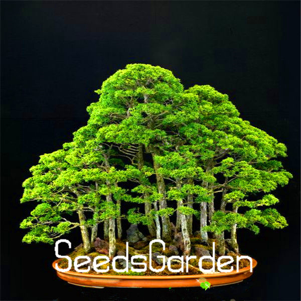 20Pieces/pack juniper bonsai tree Seeds potted flowers office bonsai purify the air absorb harmful gases,#4OJNVA