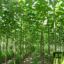 Authentic Paulownia bonsai coat tree empty paelonia wood Tongong  100pcs(pao tong)