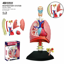 4D Lung Intelligence Assembling Toy Human Organ Anatomy Model Medical Teaching DIY Popular Science Appliances human male genital penis organ anatomical medical model anatomy science teaching natural life size 4 part