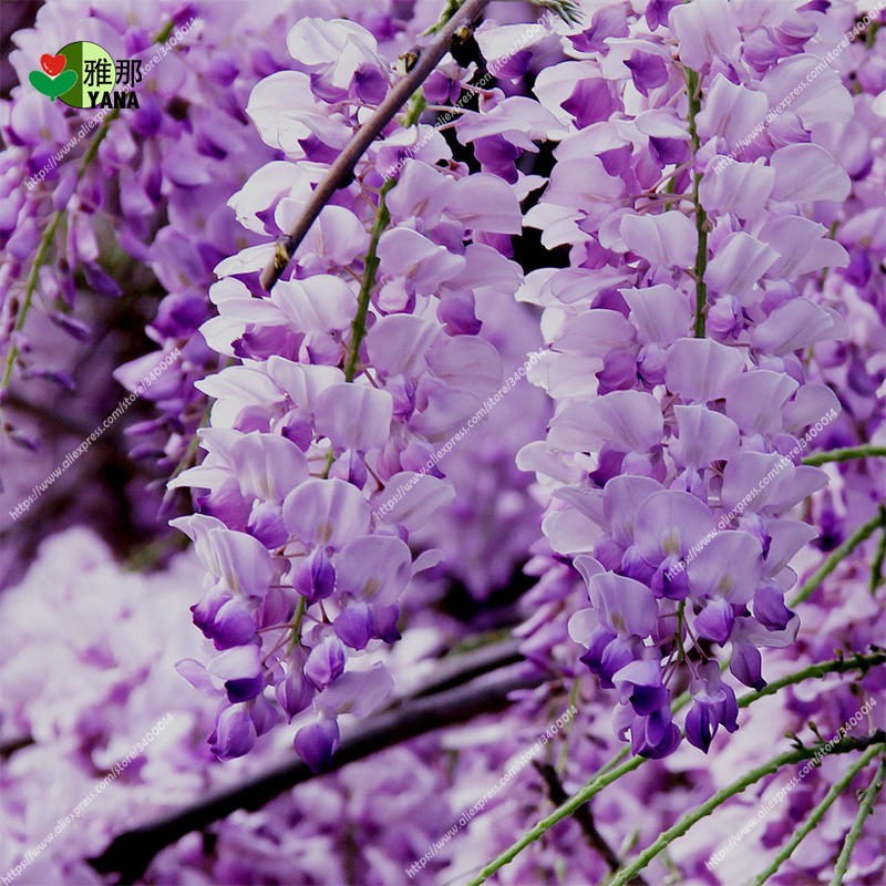 10 pcs bag Wisteria seeds Wisteria sinensis tree for home garden flower seeds purple rattan tree for garden plant in Bonsai from Home Garden