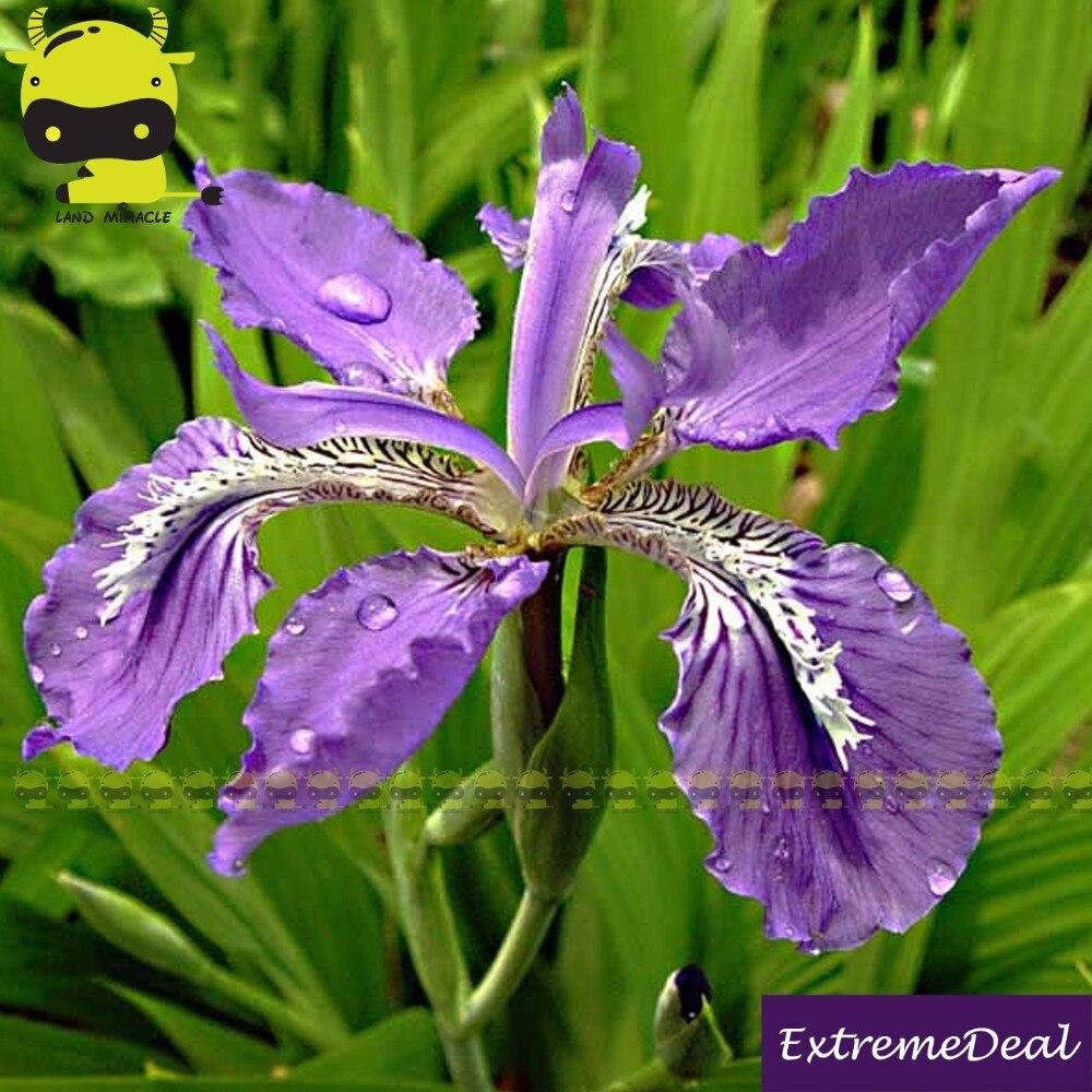 20 purple iris seedsbearded iris seedsrare bonsai iris 20 purple iris seedsbearded iris seedsrare bonsai iris phalaenopsis orchid flower nature plants for home garden in bonsai from home garden on izmirmasajfo