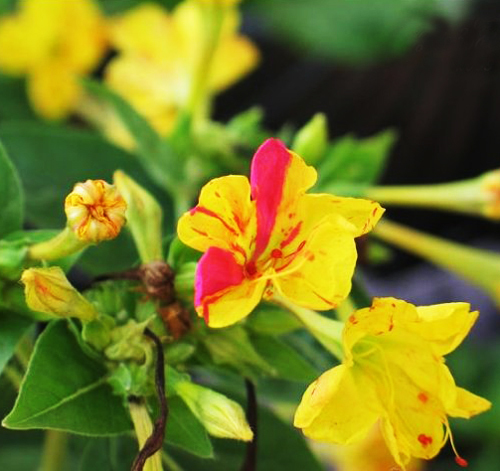 5 pack 100 seed four oclock seeds mirabilis jalapa colorful 5 pack 100 seed four oclock seeds mirabilis jalapa colorful fragrant jasmine flower mightylinksfo