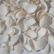 Natural Conch Clam Shell Aquarium Decoration Sea Sand Bottom Bird Tail Seashells Home