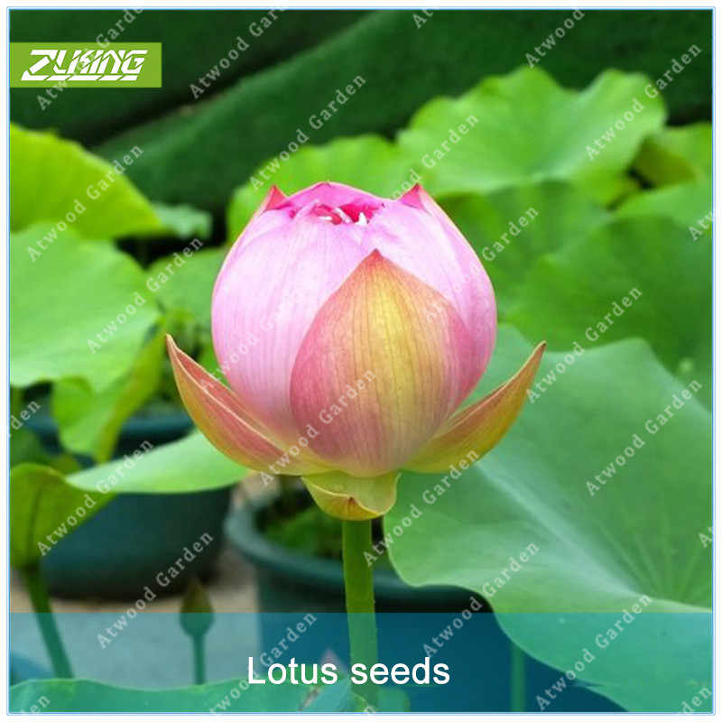 Detail Feedback Questions About Zlking 5pcs Mini Pink Chinese Lotus