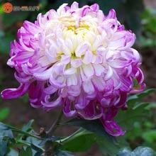 Fireworks Shape Orange Chrysanthemum Flower Seeds Softcover Bonsai Balcony 100 Particles / lot