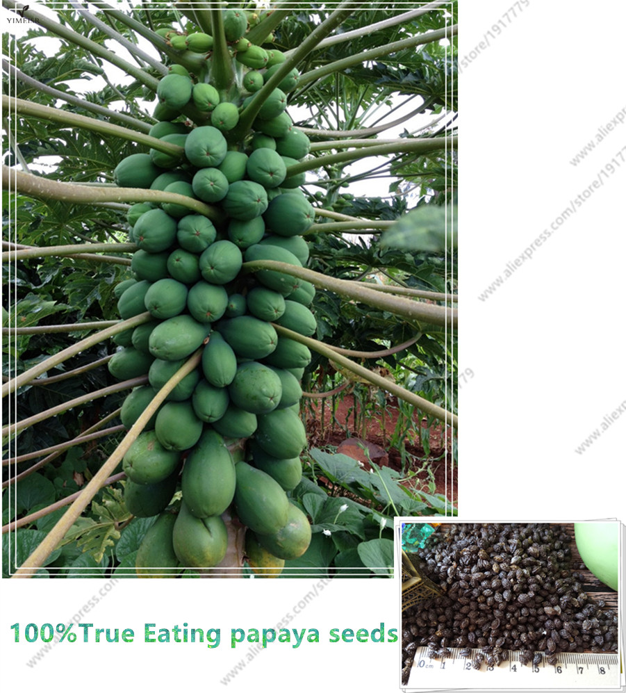 how to grow a papaya tree from seed