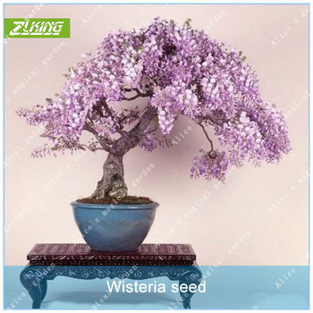 ZLKING 10pcs Wisteria Flower Bonsai Plants For Home Garden Super Natural Products Herbaceous Perennial Plants