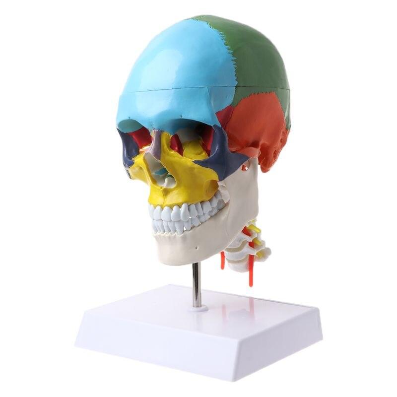 Modèle anatomique de squelette d'anatomie humaine avec os colorés Sculpture de vertèbre cervicale fournitures médicales
