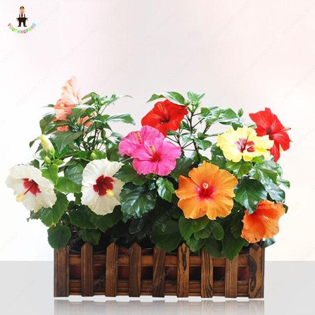 100 Piezas Flor De Hibisco Bonsai Plantas Para Jardin Exotica