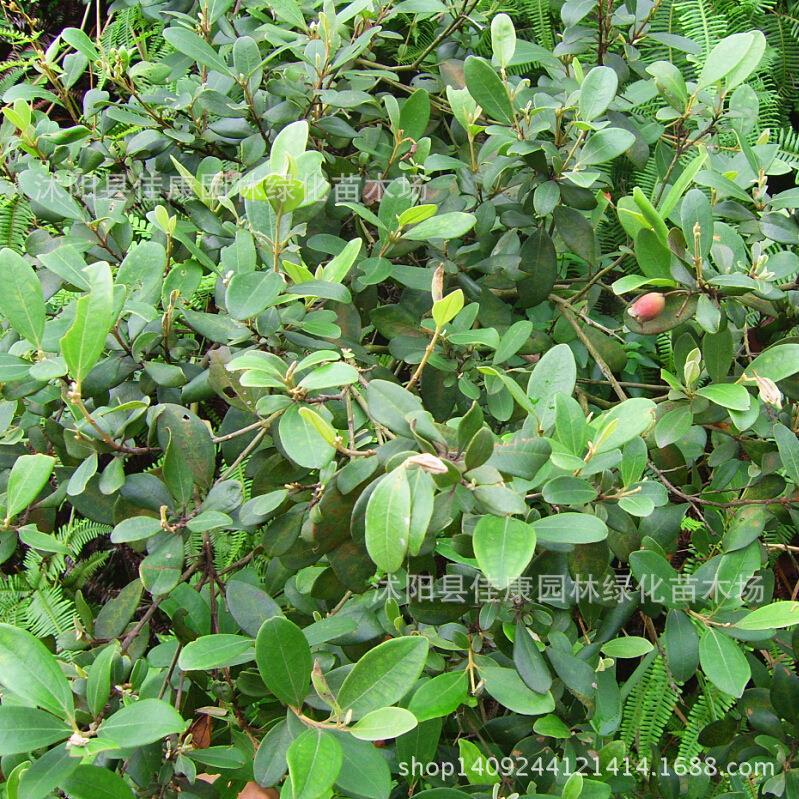 Arbre plante authentique montagne myrte bonsaï M. dodecandrum Minoru sous-arbre racine plante pêche poire oncle quand mère 200 g/paquet