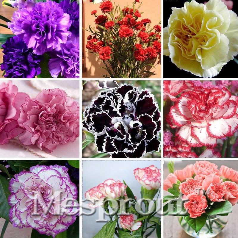 color mezclado clavel semillas de flores hermosas flores preciosas semillas para el jardn de casa