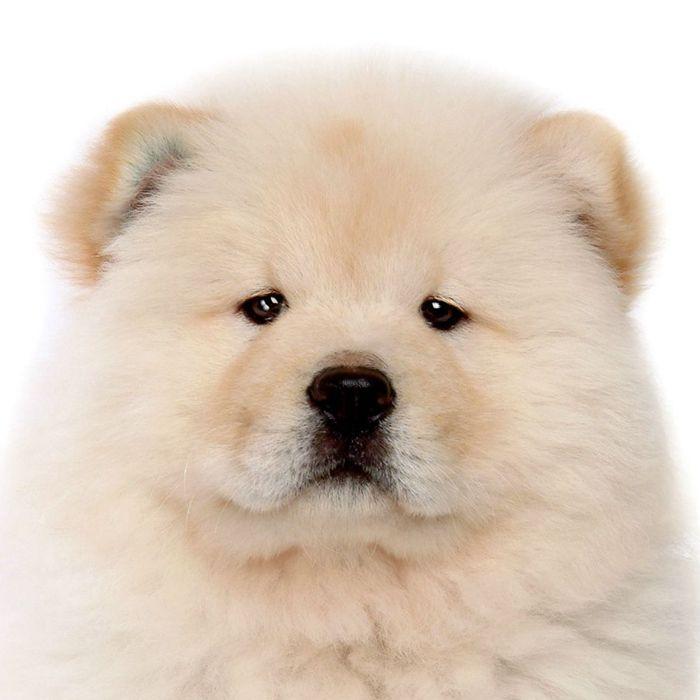 2020 Cute Chow Chow Dog Animal Cute
