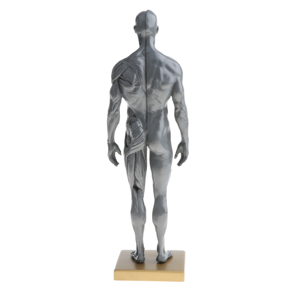 11 inch Male & Female Anatomy Figure Model Anatomical Reference for ...