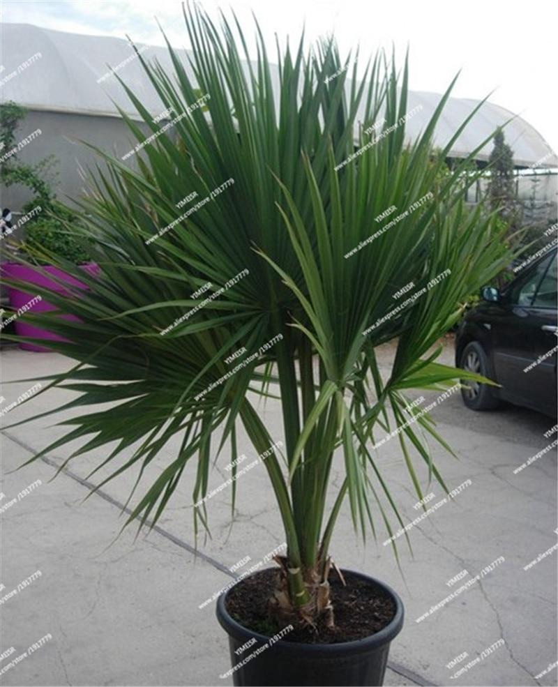 Sabal palmetto seeds cabbage palm tree Perennial tropical plant outdoor Bonsai tree seeds for Home garden 10pcs/bag