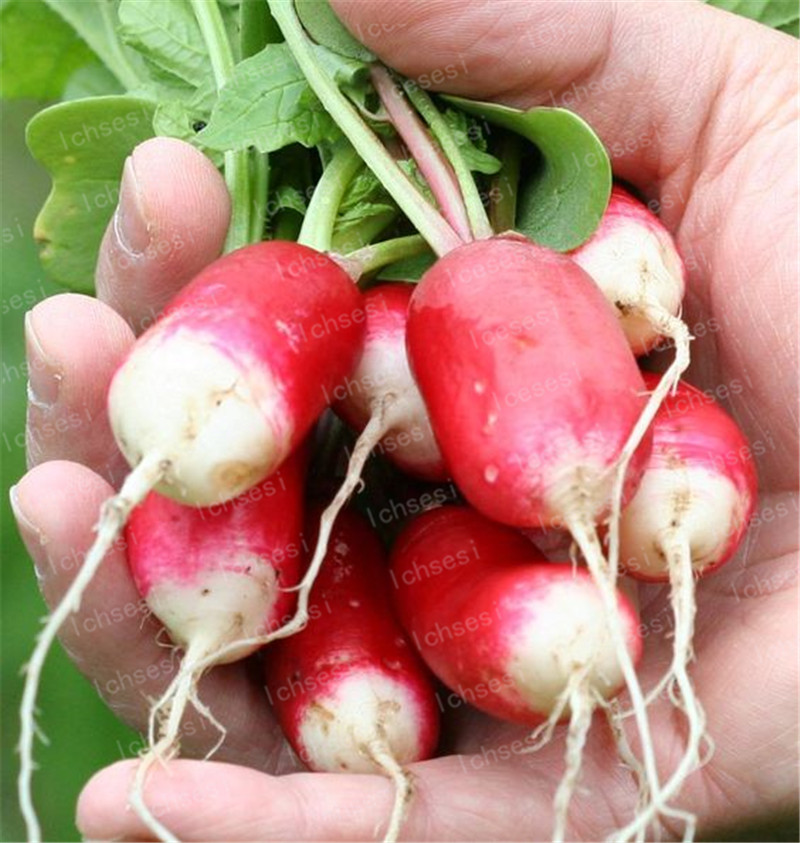 Image 2 - 100Pcs Rare Sausage Radish Bonsai Juicy And Nutritious Early Spring Radish Very Delicious Vegetable Garden Food Easy To Grow-in Bonsai from Home & Garden