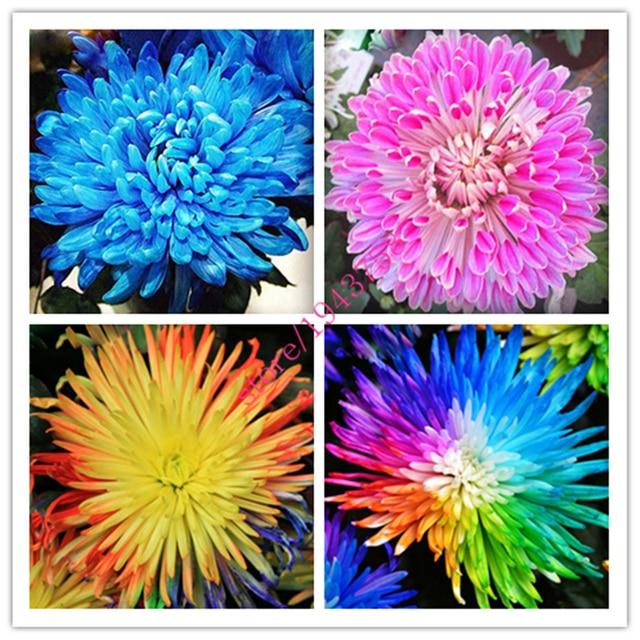 200 Pcs Chrysanthemum Chrysanthemum Perennial Flowers Beautiful