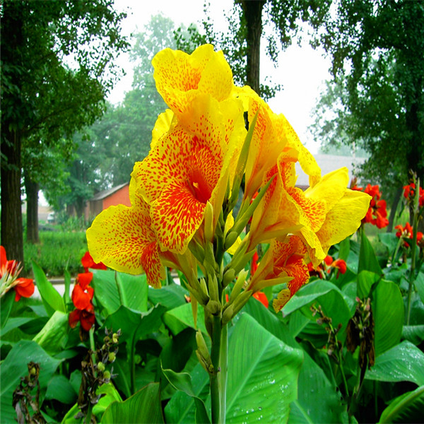 Yellow canna indica indian shot canna lily flowers 10 b088 in yellow canna indica indian shot canna lily flowers 10 b088 in bonsai from home garden on aliexpress alibaba group mightylinksfo