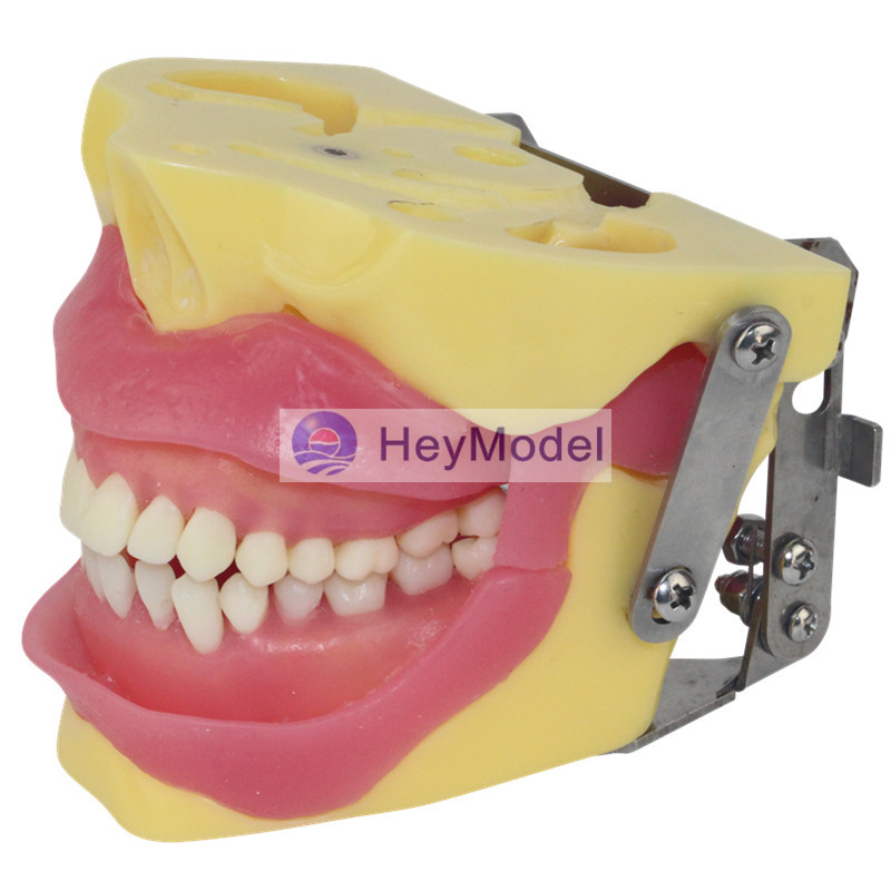 HeyModel Human Oral practice assessment of Teeth extraction Model  HeyModel Human Oral practice assessment of Teeth extraction Model