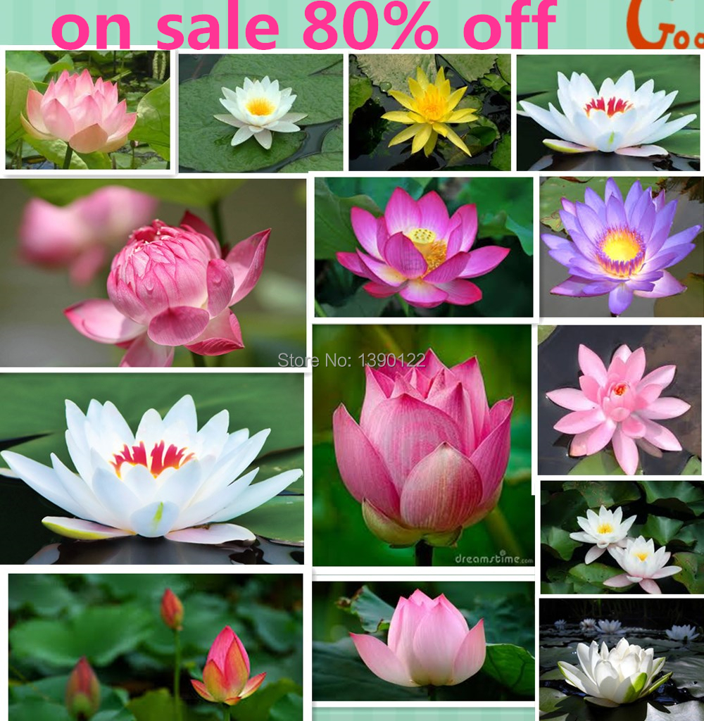10pcs 10 Colors Bowl Lotus Flower Plants Lotus Seed Plant Bonsai