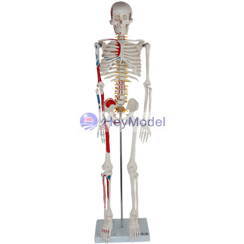 HeyModel Artificial Skeleton Model with One-side Painted Muscles