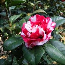 Flower Tree Camellia Seeds 5pcs