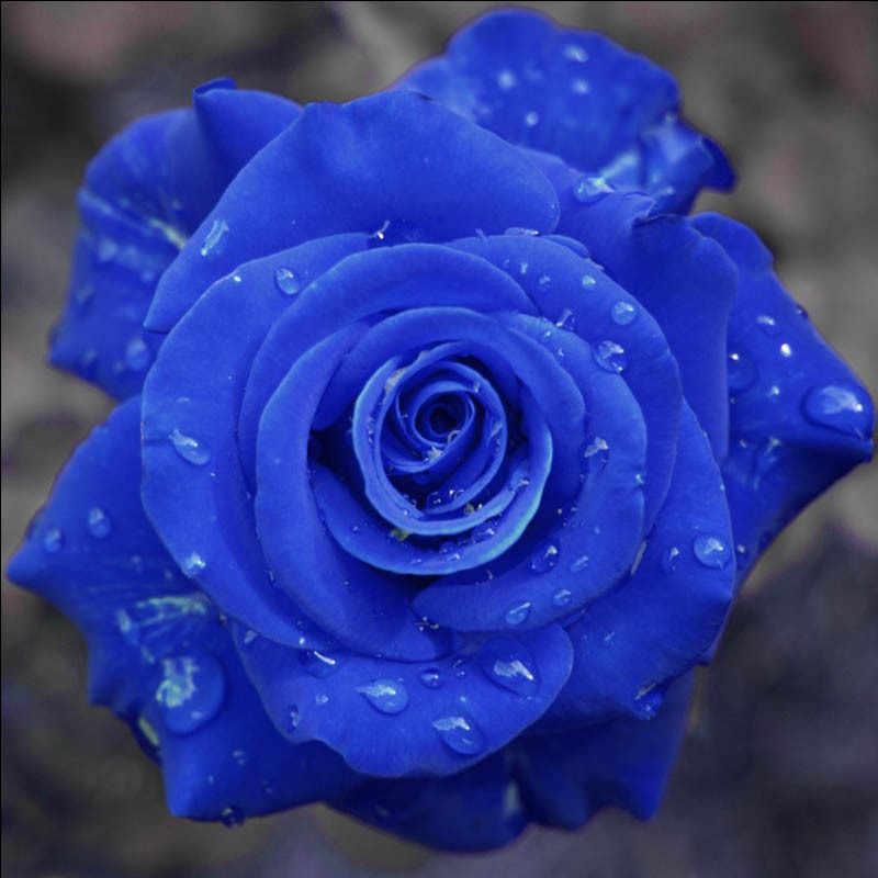 1000 Pcs/bag Eksotis Biru Rosa Tanaman Bunga 100% Asli Langka Cina Mawar Cantik Bonsai Pot untuk RUMAH & Taman Dekorasi