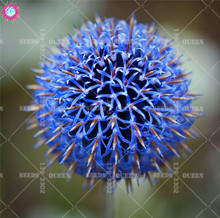 50pcs Blue Globe Thistle seeds Echinops przewalskii flowers seeds Blue prickly head Fire branded grass Ornamental garden 2018FUN