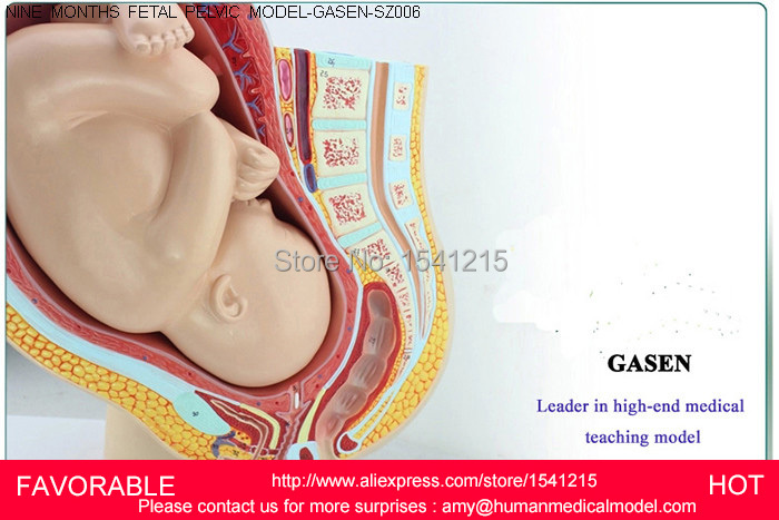 PREGNANCY EMBRYO DEVELOPMENT MODEL,GYNECOLOGICAL FETAL EDUCATION,BABY FETAL DEVELOPMENT PROCESS FEMALE PELVIC-GASEN-SZ006 fetal model of female gynecology with pelvic attachment to full term fetal pregnancy development of nine months fetal uterine re