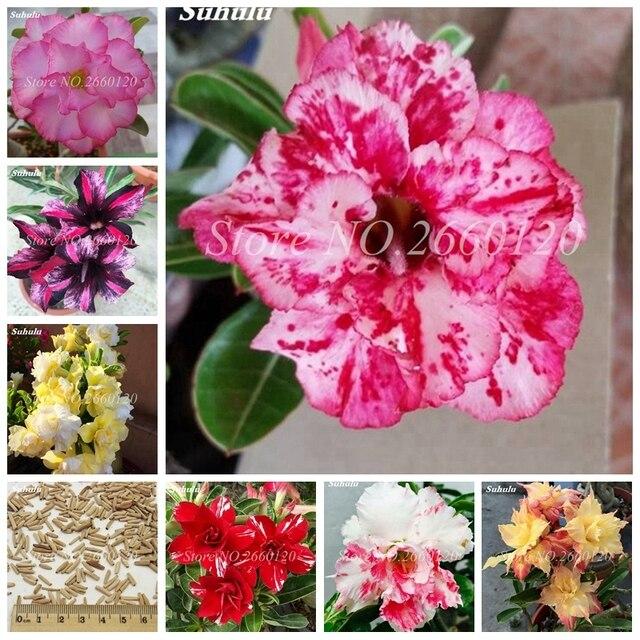 2 unids/bolsa mezcla de bonsái desierto rosa en macetas plantas ornamentales balcón exterior y flores interiores Adenium Obesum para el jardín del hogar