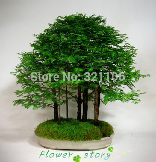 20 Pcs Dawn Redwood Bonsai Tree Grove Metasequoia Glyptostroboides Cleaning Up The Environment Very