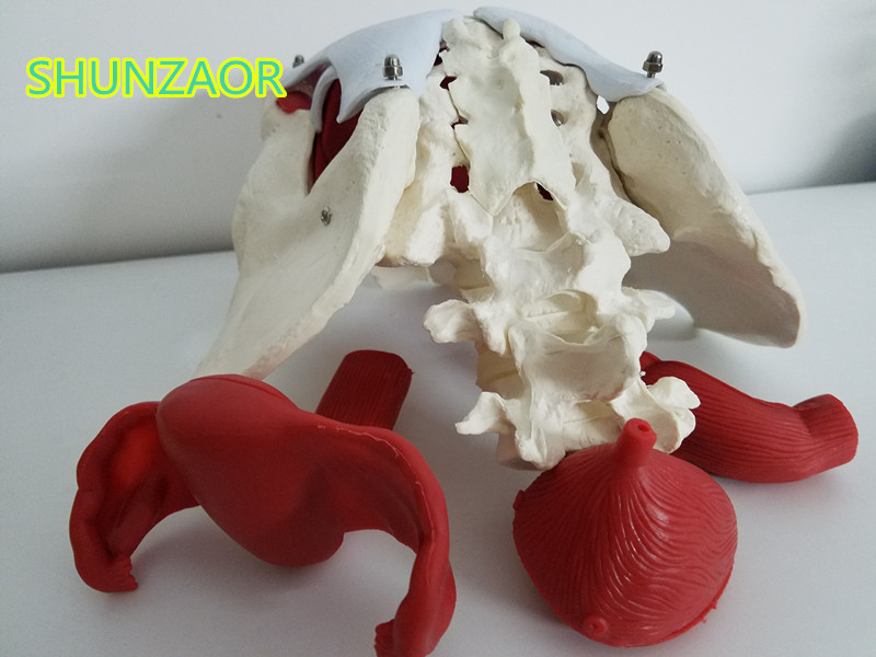 SHUNZAOR Female pelvis and reproductive organs model,Female bladder pelvic floor muscle. Rehabilitation, medical