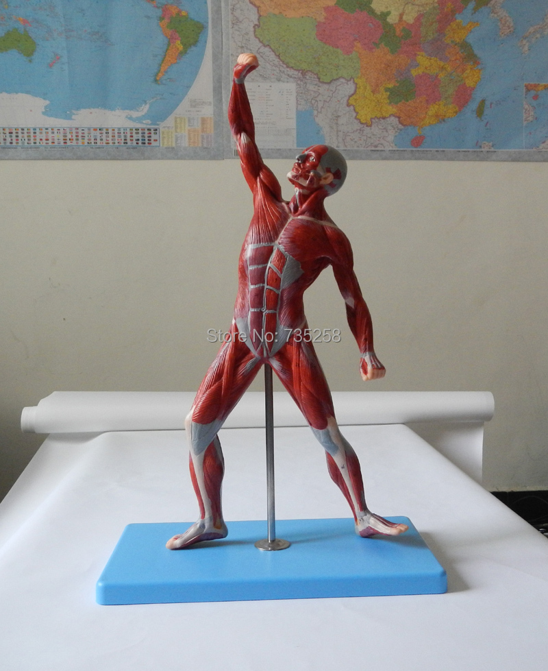 Muscles of Male,Human Body Muscle Movement Anatomy Model,Muscle Man Model mini human uterus assembly model assembled human anatomy model gift for children