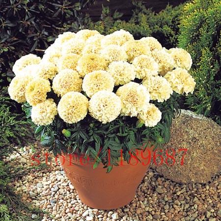 marigold-african-vanilla-plants-pack-of-30