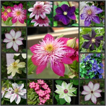 clematis seeds,clematis plant seeds, flower seed,not the Clematis Hybridas root – 200 pcs seeds/bag