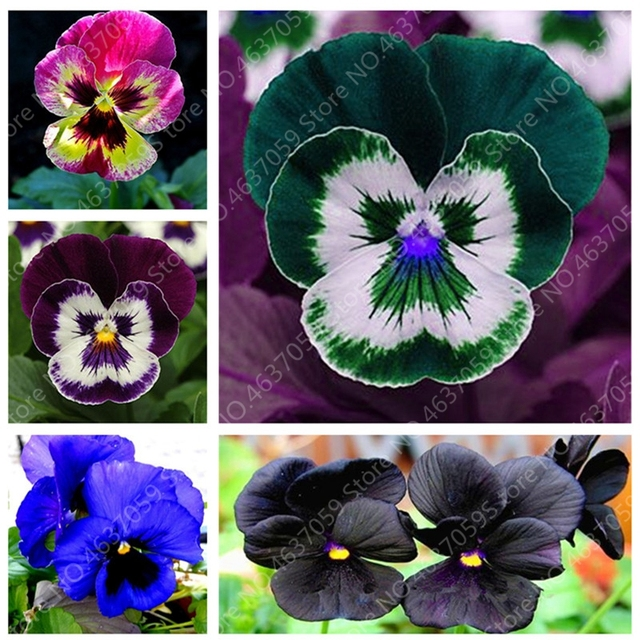 200 pcs/ bag Bonsai Pansy Flower Mix Color Blooming Wavy Viola Tricolor Flore Outdoor Potted Plants DIY Home & Garden Decor