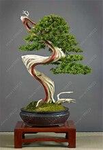 100 seeds/bag  juniper bonsai,juniper seeds,juniper bonsai tree,perennial green Living room ornamental plants for home garden