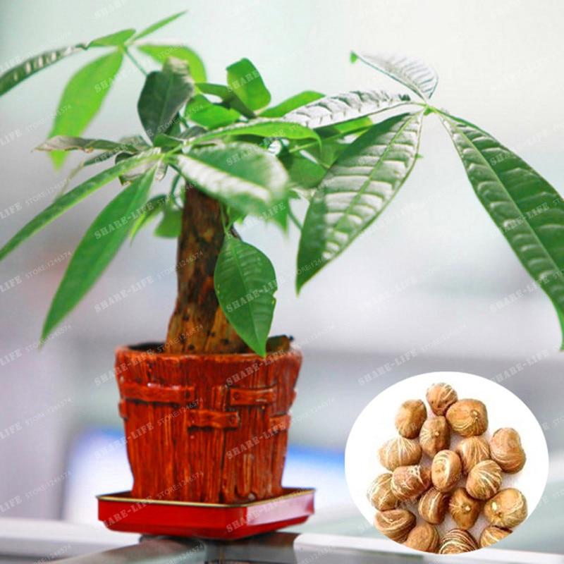 1 stk Mini Pachira Hawaiian Large Bonsai Bonsai at tjene penge træpotte til Bonsai Indoor Flowers Bonsai gratis forsendelse