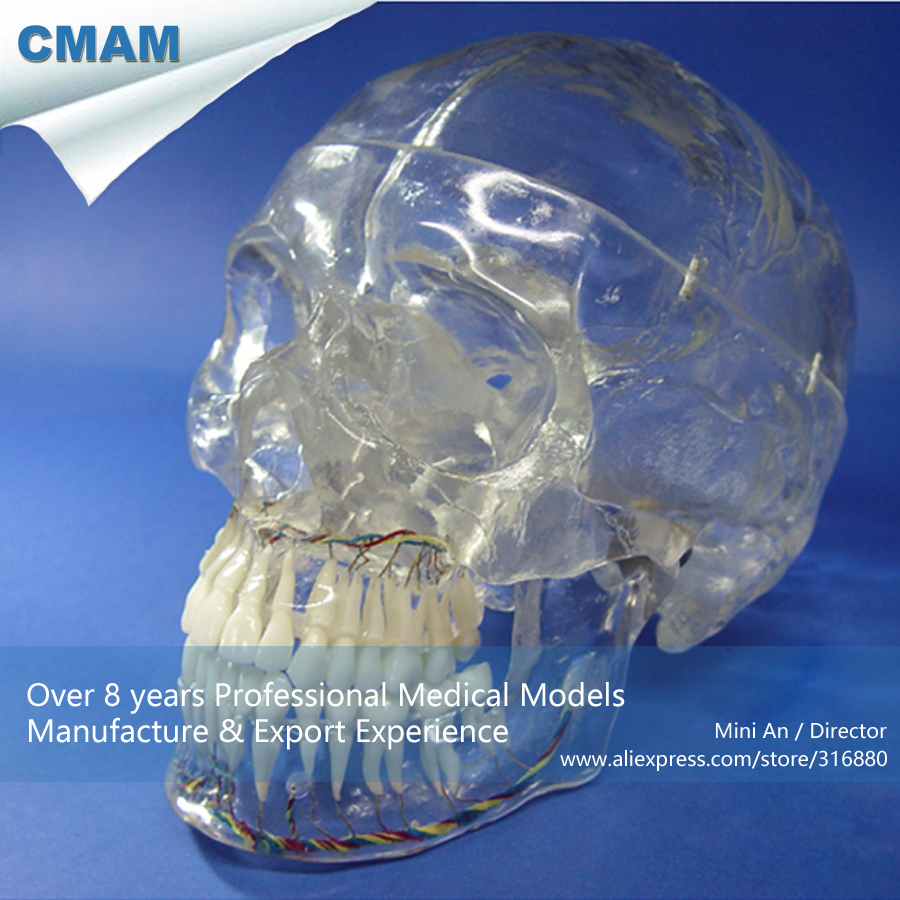 CMAM-SKULL10 X-Ray Transparent Human Skull Model ,Medical Science Educational Teaching Anatomical Models cmam skull05 life size numbered human skull skeleton model medical science educational teaching anatomical models
