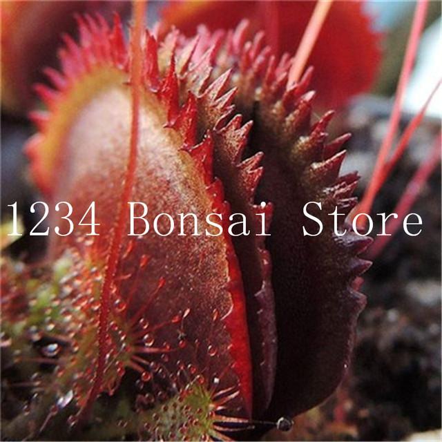 Free Shipping 100 pcs Bonsai Insectivorous Potted Plant Dionaea Muscipula Giant Clip Venus Flytrap bonsai For Home Garden