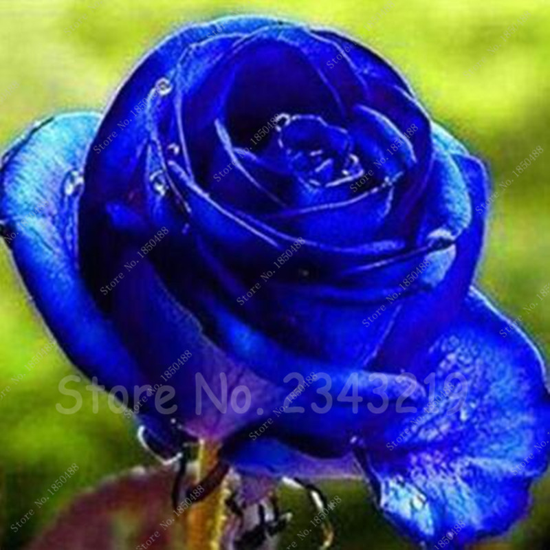 20 seeds bag rare holland rainbow rose seeds flowers home for Holland rainbow rose seeds
