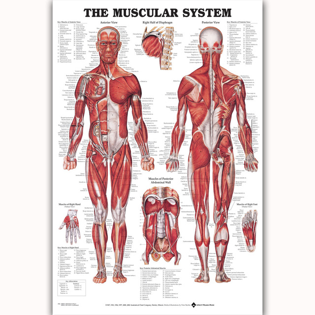 MQ822 Muscular System Chart Human Body Medical Science Hot New Art ...