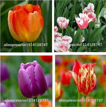 Tulip, tulip seeds, potted indoor and outdoor potted plants purify the air mixing colors,tulip flower – 100pcs / bag