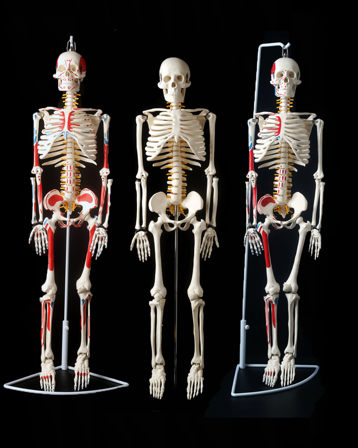 online buy wholesale human skeleton system from china human, Skeleton