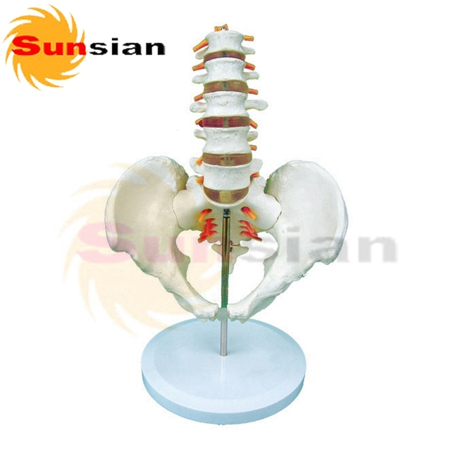 Columna Lumbar con el modelo de la pelvis, esqueleto humano modelo ...
